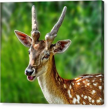 Smiling Deer Canvas Print