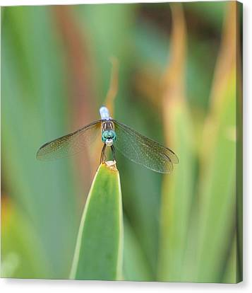 Smiling Dragonfly Canvas Print by Karen Silvestri