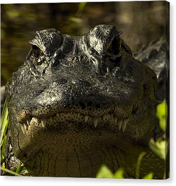 Smiling Gator Canvas Print by Sean Allen