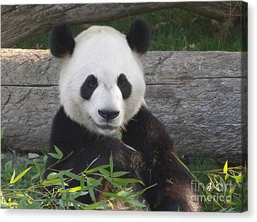 Smiling Giant Panda Canvas Print