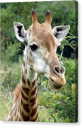 Smiling Giraffe Canvas Print by Ramona Johnston