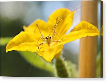 Smiling Katydid Canvas Print by Candice Trimble
