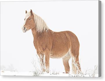 Smiling Palomino In The Snow Canvas Print by James BO  Insogna