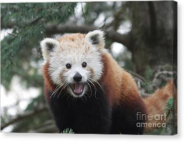 Smiling Red Panda Canvas Print by Judy Whitton