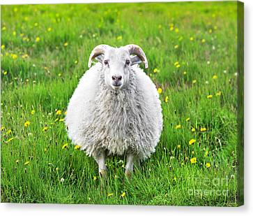 Smiling Sheep Canvas Print