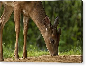 Smoky Mountain Deer Canvas Print by Andrew Soundarajan