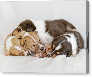 Smooth Collie Puppies Taking A Nap Canvas Print
