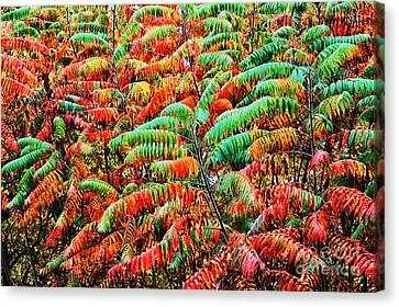 Smooth Sumac Fall Color Canvas Print by Thomas R Fletcher