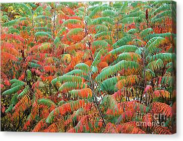 Smooth Sumac Red And Green Leaves Canvas Print
