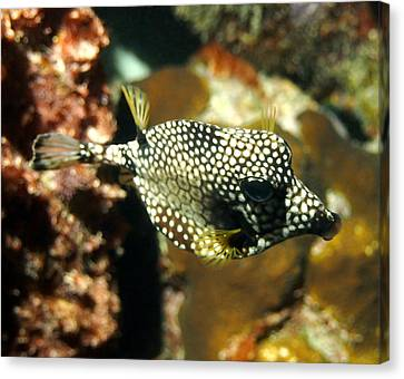 Smooth Trunkfish Canvas Print by Amy McDaniel