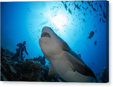 Snacking Bull Shark Canvas Print by Dave Fleetham
