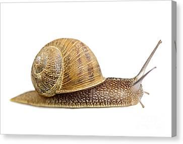 Snail Canvas Print by Elena Elisseeva