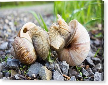Snail Love - Two Snails Having Fun Canvas Print by Matthias Hauser