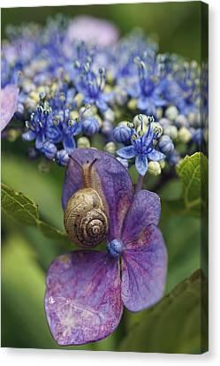 Slug Canvas Print - Snail On Hydrangea Flower Japan by Hiroya Minakuchi