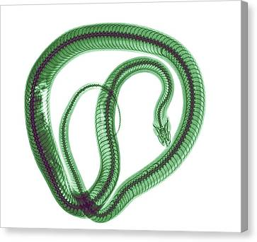 Colourized Canvas Print - Snake Under X-ray by Photostock-israel