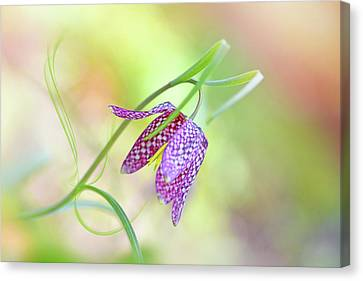 Soft Pastel Canvas Print - Snake's Head Fritillary by Jacky Parker