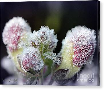 Snapdragon Buds Wear A Frosty Coat Canvas Print by J McCombie