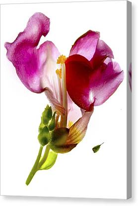 Snapdragon Pink Canvas Print