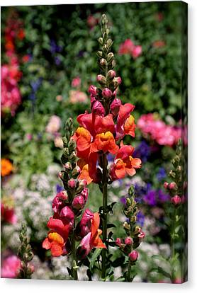 Snapdragons Canvas Print by Rona Black