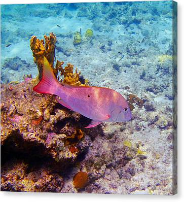 Snapper Reef Canvas Print by Carey Chen
