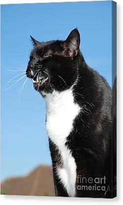 Sneezing Cat Canvas Print