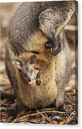 Sneezing Wallaby Canvas Print by Craig Dingle