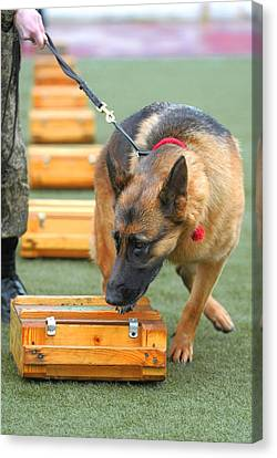 Working Dog Canvas Print - Sniffer Dog Championships by Science Photo Library