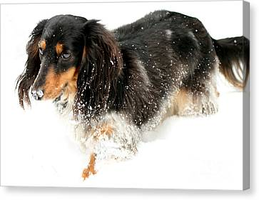 Sniffing Out Snow Canvas Print