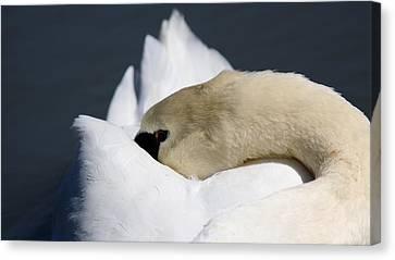 Snoozer - Swan Canvas Print by Travis Truelove