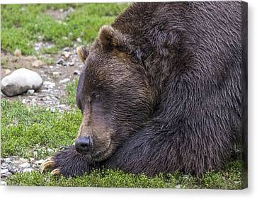 Snoozing Grizzly Canvas Print by Saya Studios