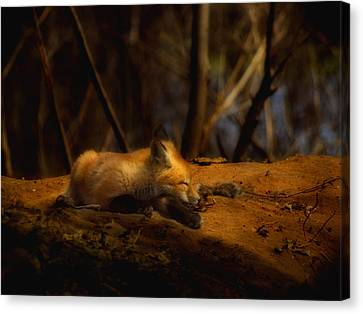 Snoozing Kit Fox Canvas Print by Thomas Young