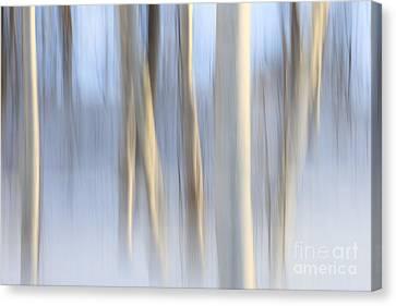 Snow Birches Canvas Print by Katherine Gendreau