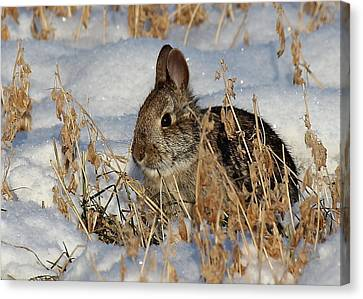 Snow Bunny Canvas Print by Penny Meyers
