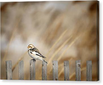 Snow Bunting Canvas Print by Vicki Jauron