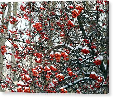 Snow- Capped Mountain Ash Berries Canvas Print
