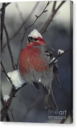 Snow Covered Pine Grosbeak Canvas Print by Stephen J Krasemann