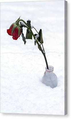 Snow-covered Rose Canvas Print by Joana Kruse