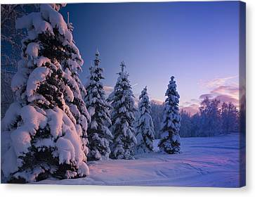 Snow Covered Spruce Trees At Sunset Canvas Print
