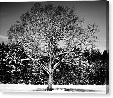 Snow Covered Tree Canvas Print