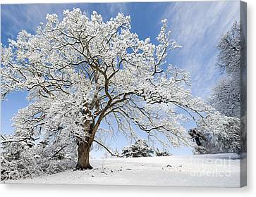 Snow Covered Winter Oak Tree Canvas Print