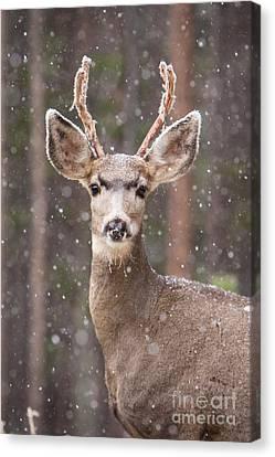 Snow Deer 1 Canvas Print
