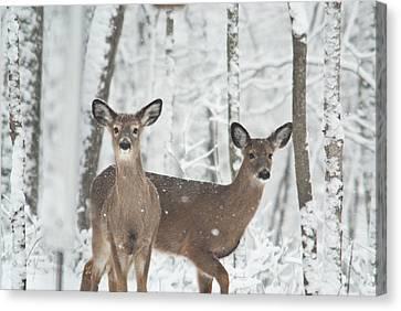 Snow Deer Canvas Print by Douglas Barnett