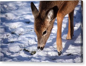 Snow Digging Canvas Print by Karol Livote