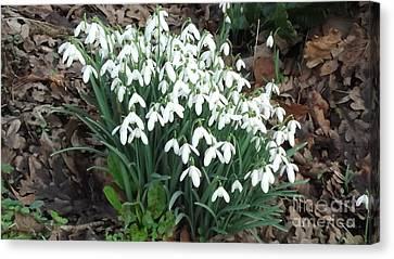 Snow Drops Canvas Print by John Williams