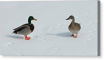 Snow Ducks Canvas Print by Mim White