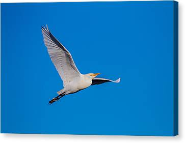 Blue Heron Canvas Print - Snow Egret In Flight by Andres Leon