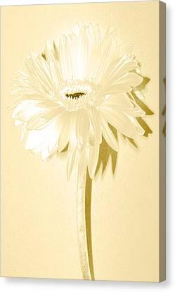 Snow Flake Zinnia Canvas Print by Sherry Allen