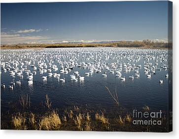 Snow Geese - Bosque Del Apache Canvas Print