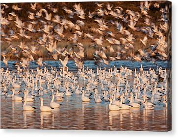 Snow Geese, Bosque Del Apache National Canvas Print by Art Wolfe