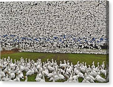 Canvas Print featuring the photograph Snow Geese By The Thousands by Valerie Garner